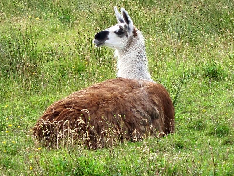Llama on the croft
