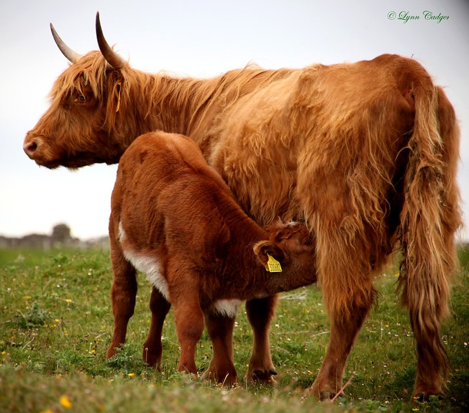 Highland Cow and calf, Tiree