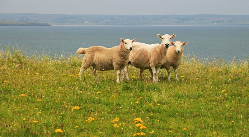 Ewe with lambs on the Braighe, Isle of Lewis