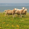 Ewe with lambs on the Braighe, Isle of Lewis