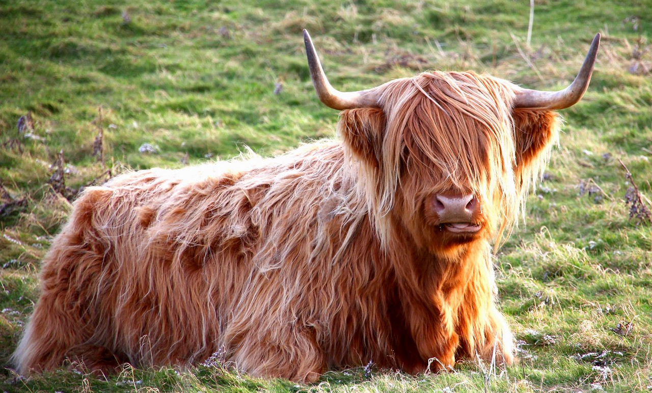 Highland Cow, Uig, Isle of Lewis