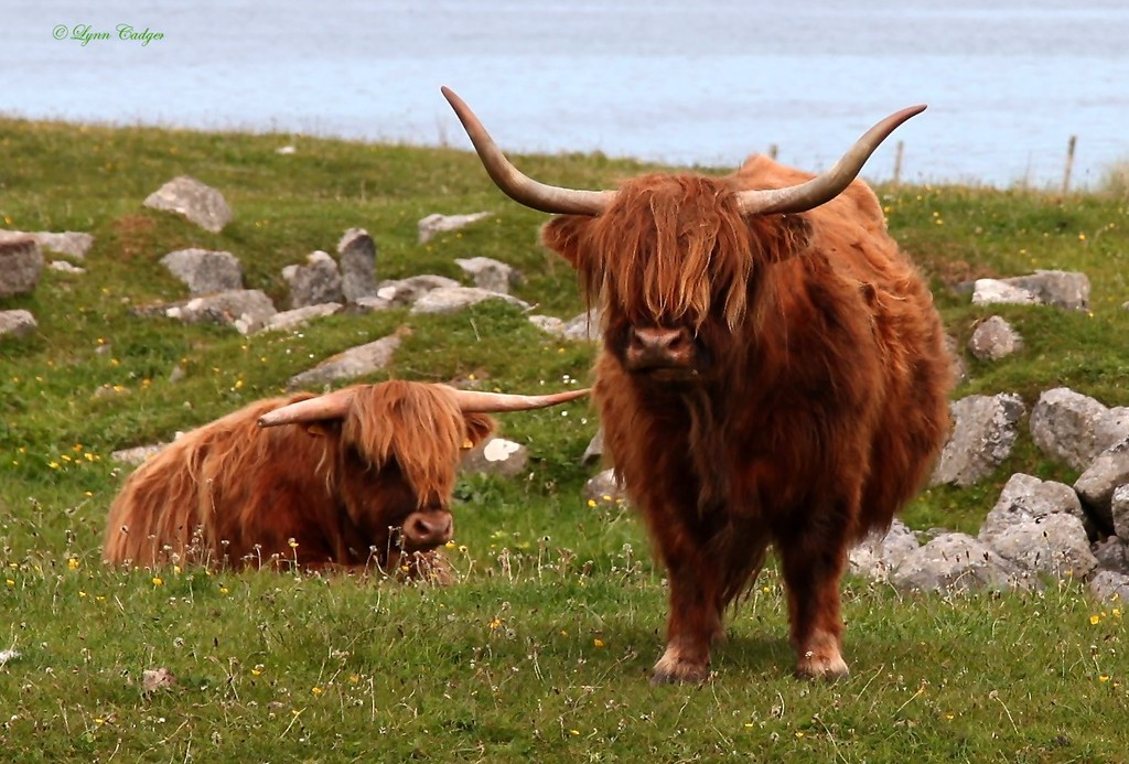 Little Highland Cows on Tiree