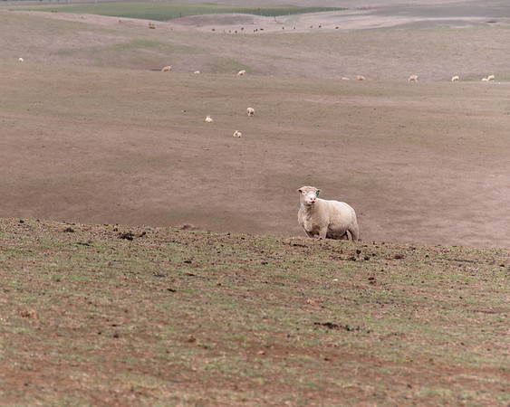 Sheep in Western Victoria,  Australia