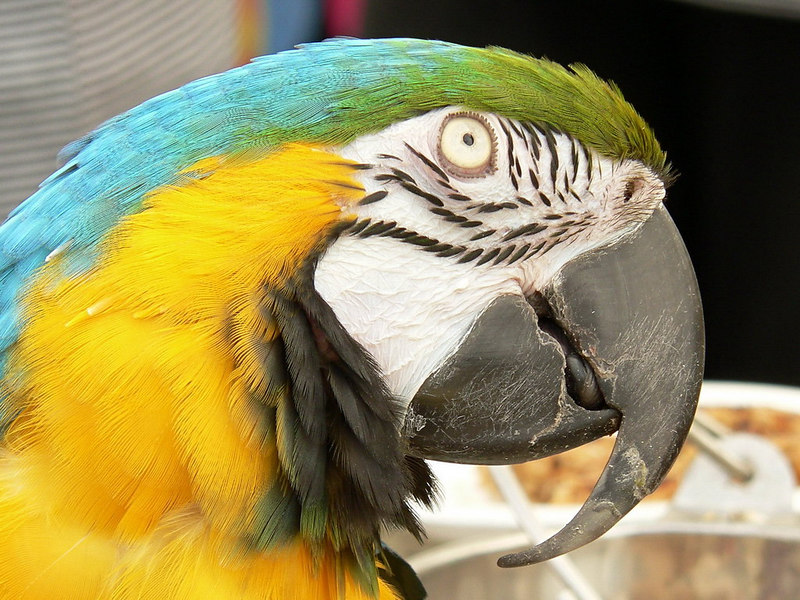 June 17th - Bird Rescue Macaw a Strawberry Festival on Windham Island.<br /> <br /> .