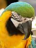 June 17th - Bird Rescue Macaw a Strawberry Festival on Windham Island.