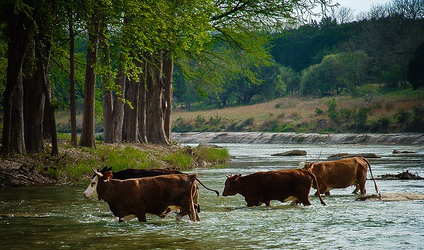 Cows in the Blanco River