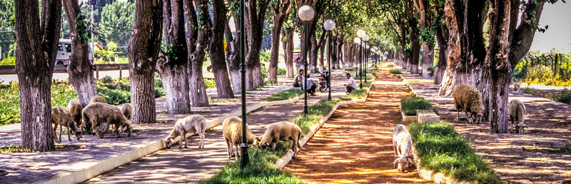 Sheep on the road to Temple of Artemis