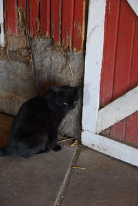 The resident cat waiting for someone to let him into the back room.  He is very friendly!