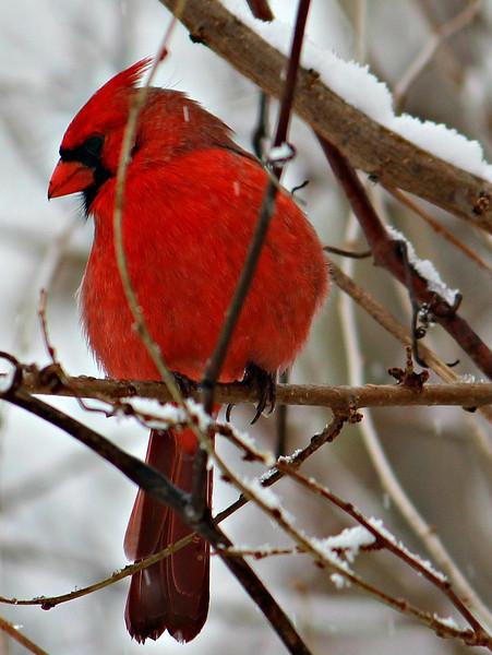Cardinal in my backyard during a snow.