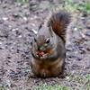 Douglas's Squirrel<br /> 14 APR 2011