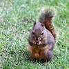 Douglas's Squirrel<br /> 18 APR 2011