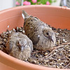 Dove chicks in hanging pot nest.