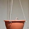 Dove in hanging pot.