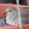 7891 Dove and Chick