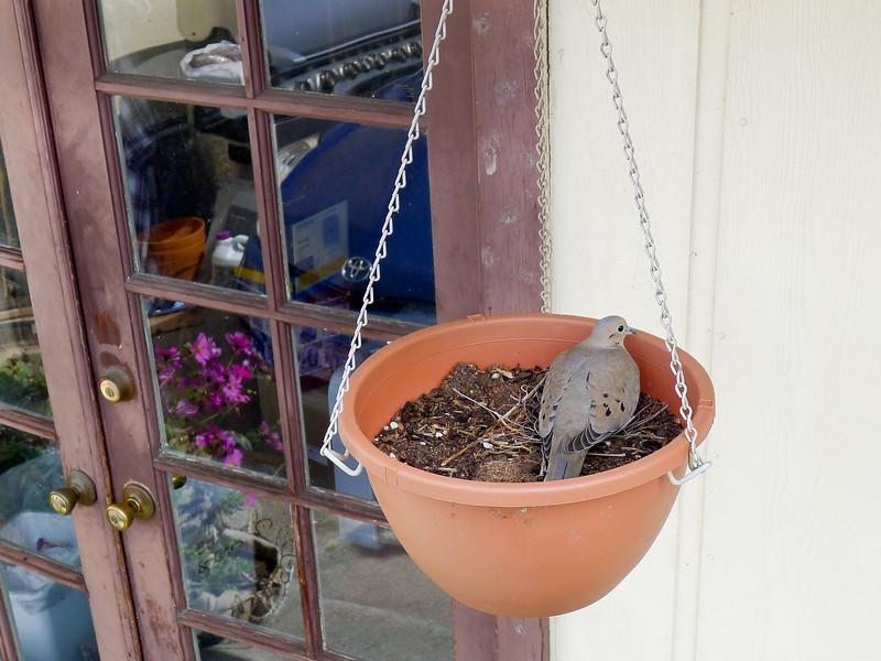 Dove nest in hanging pot by back hall door.