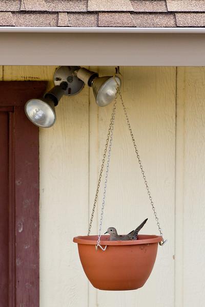 Dove on nest in flower pot.