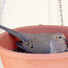 Dove nest in hanging pot with chick barely visible.