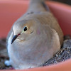 Dove and chick.
