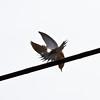 Dove on wire - taking flight.