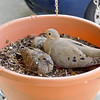 Dove and chicks in hanging pot nest.