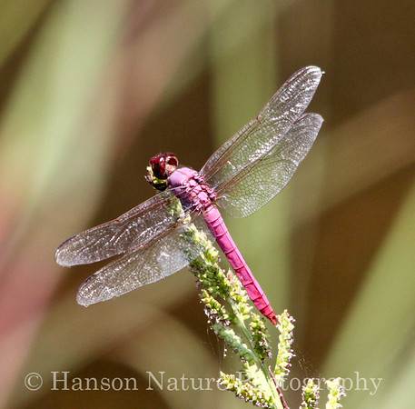 Dragonflies, Damselflies, Spiders and Insects