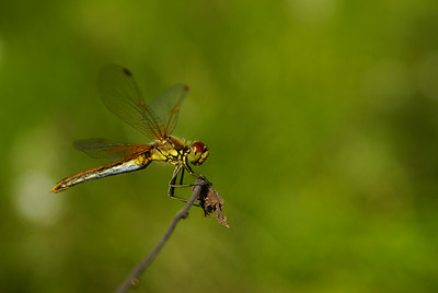Yellow-winged darter - Elokorento - Sympetrum flaveolum. Eno, 2007. Naaras - female
