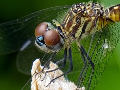 Gomphidae specie.