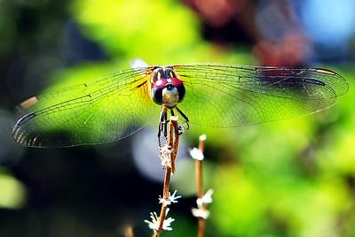 Blue Dasher (female).