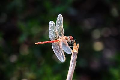 Odonata.