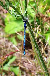 Hagen's Bluet (Enallagma hageni) male.
