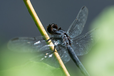 Bar-winged Skimmer (male) Libellula axilena. Peabody, MA.