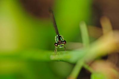 Eastern Forktail (Ischnura verticalis) male.