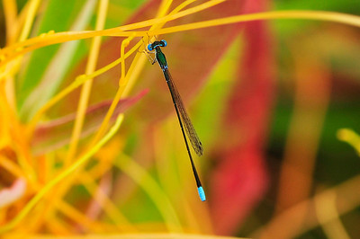 Sweetflag Spreadwing (Lestes forcipatus)