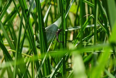 Green-striped Darner, (Aeshna verticalis).
