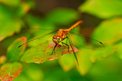 Sympetrum internum/janae (Cherry-faced or Jane's Meadowhawk), female.