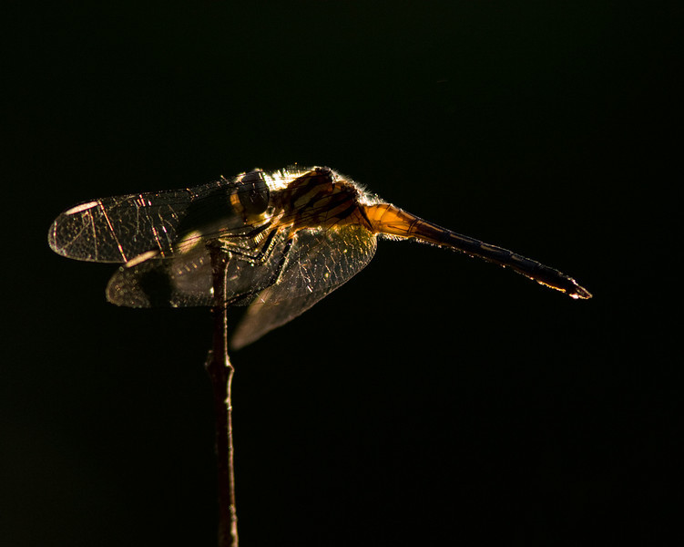 Backlit Blue Dasher