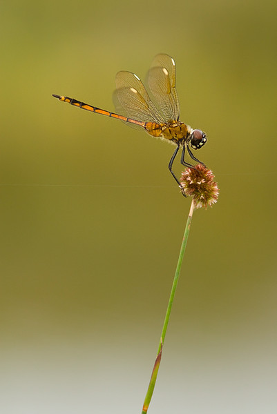 Four Spotted Pennant
