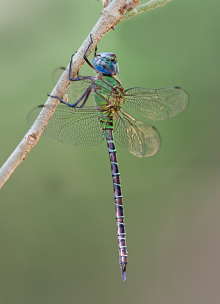 Blue Faced Darner