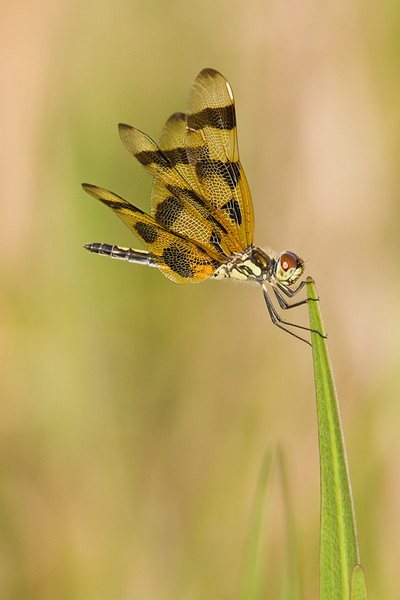 Male Halloween Pennant