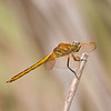 Female Needham Skimmer