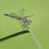 Female Blue Darner