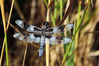 Twelve Spotted Skimmer Male
