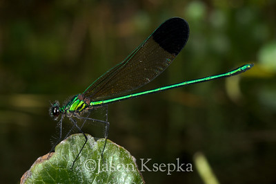 Calopteryx dimidiata, Sparkling Jewelwing, male; Marion County, Ocala National Forest, Florida  2010-05-15  #11