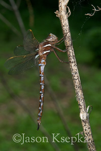 Basiaeschna janata, Springtime Darner; Sussex County, Whittingham Fish and Wildlife Management Area, Newton, New Jersey  2010-05-08  #7