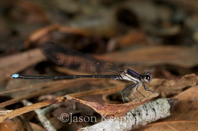 Argia tibialis, Blue-tipped Dancer, male; Putnam County, Orange Springs, Florida  2010-05-16  #5