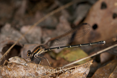 Argia tibialis, Blue-tipped Dancer, female; Putnam County, Orange Springs, Florida  2010-05-16  #11