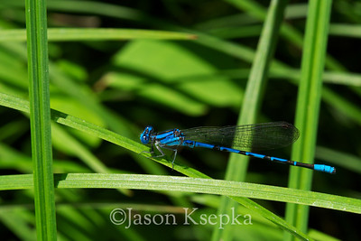 Argia plana, Springwater Dancer, male; Reynolds County, Missouri  2009-07-23  #4
