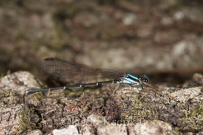 Argia tibialis, Blue-tipped Dancer, female; Putnam County, Orange Springs, Florida  2010-05-16  #25
