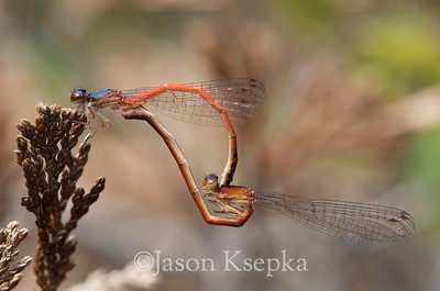 Amphiagrion%20saucium,%20Eastern%20Red%20Damsel,%20mating%20pair;%20Burlington%20County,%20New%20Jersey
