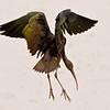 Glossy Ibis Descending